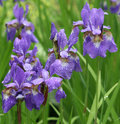 Violet irises in park Royalty Free Stock Photo