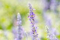 Violet lavender flowers beautiful in the field Royalty Free Stock Photos