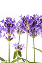Violet  lavendula flowers on white background, close up Royalty Free Stock Photo