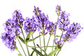 Violet lavendula flowers on white background, close up Royalty Free Stock Photo