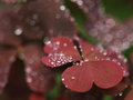 Violet Leaves With Raindrops