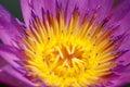 The violet lotus