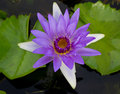 Violet lotus Stock Photography