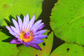 Violet lotus blossoming Royalty Free Stock Photo