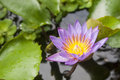 A violet lotus in marsh Royalty Free Stock Images
