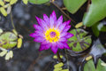 Violet lotus in the water Stock Photography