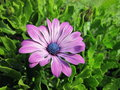 Violet marguerite beautiful blooming at the garden Stock Photography
