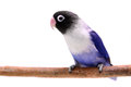 Violet masked lovebird Royalty Free Stock Photo