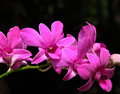 Violet orchid close up of flowers blooming Royalty Free Stock Image
