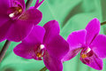 Violet orchid flowers with copyspace on green sateen background Royalty Free Stock Photography