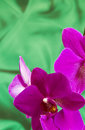 Violet orchid flowers on green background with copyspace sateen Royalty Free Stock Photo