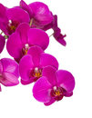 Violet orchid flowers isolated on white Royalty Free Stock Photo