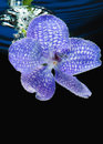 Violet orchid in water close up image of with bubbles Stock Image