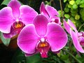 Violet orchids Royalty Free Stock Image