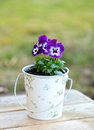 Violet pansies in a pot outdoors Stock Image