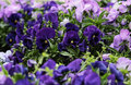 Violet pansies spring fresh flowers purple Royalty Free Stock Photo