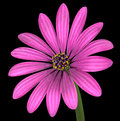 Violet pink osteospermum flower isolated auf schwarzem Lizenzfreie Stockbilder