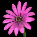 Violet pink osteospermum flower isolated sul nero Immagini Stock Libere da Diritti