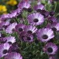 Violet pink osteosperumum flower daisy Photographie stock libre de droits