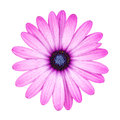 Violet Pink Osteosperumum Flower Daisy Isolated on White Backgro. Royalty Free Stock Photo