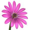 Violet pink osteosperumum flower isolated på vit Arkivbilder
