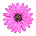 Violet Pink Osteosperumum Flower Isolated on White Royalty Free Stock Images