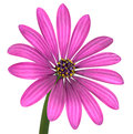 Violet pink osteosperumum flower isolated on white with green stick daisy background macro closeup Stock Images