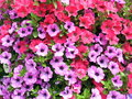 Violet and pink petunia flowers pattern Royalty Free Stock Photo