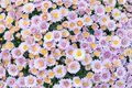 Violet pink yellow chrysanthemum flowers field background. Floral still life with many colorful mums. Selective focus Royalty Free Stock Photo