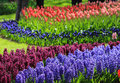 Violet and purple hyacinths in a field with red and pink tulips
