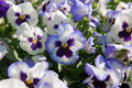 Violet purple pansy flowers spray water on Royalty Free Stock Images