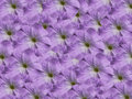 Violet purple petunia natural floral texture Royalty Free Stock Photos