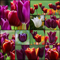 Violet Red White Tulip Flowers Set Collage