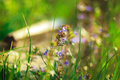 Violet romantic flowers and green grass and yellow rays of sun a Royalty Free Stock Photo