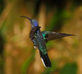 Violet sabrewing backside costa rica cloud forest Stock Images