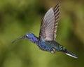 Violet Sabrewing humming bird Royalty Free Stock Photo