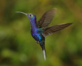 Violet sabrewing male closeup of costa rica Royalty Free Stock Photo