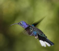 Violet sabrewing male in flight Royalty Free Stock Photography