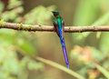 Violet tailed sylph aglaiocercus coelestis portrait of an exotic small hummingbird with a very long green blue and purple tail Stock Photo