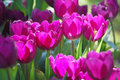 Violet tulip colourfull can growth in chiangrai thailand Royalty Free Stock Images