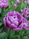Violet tulip on field Royalty Free Stock Photo