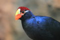 Violet turaco Royalty Free Stock Photos
