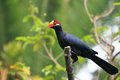 Violet turaco Royalty Free Stock Images