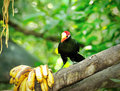 Violet turaco bird close up of musophaga violacea from west africa selective focus Royalty Free Stock Image