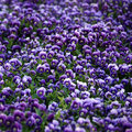 Violet Viola Flowers Royalty Free Stock Photography