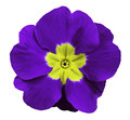 Violet violets flower white isolated background with clipping path. Closeup. no shadows. For design.