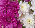 Violet and white chrysanthemums closeup romantic background Royalty Free Stock Image