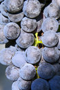 Violet wine grapes Royalty Free Stock Images