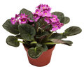 Violets. Home indoor plant in flowerpot isolated Royalty Free Stock Photo