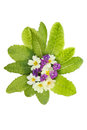 Violets and primrose posy of violet flowers with leaves isolated against white Royalty Free Stock Images
